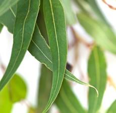 Eucalyptus, globulus, Organic: 5 ml.