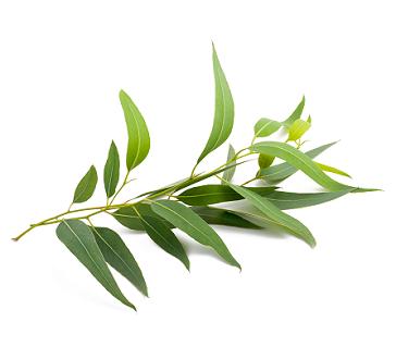 Eucalyptus, radiata, Organic: 10 ml.