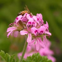 Geranium, Organic, Egypt: 5 ml.