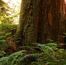 Cedar, atlantica, Organic: 10ml.