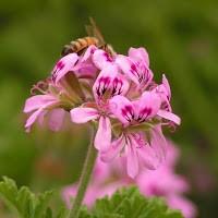 Geranium, Organic, Egypt: 1dram