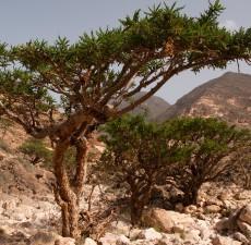 Frankincense, Organic (Boswellia serrata) 1dram