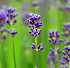 Lavender, organic: 10ml.