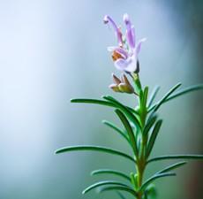 Rosemary, Organic: 10ml.