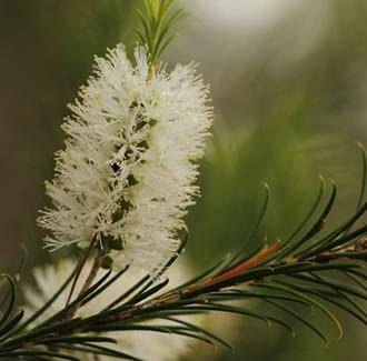 Tea tree, Organic: 10 ml.