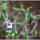 Cardamom, Organic: 1 dram