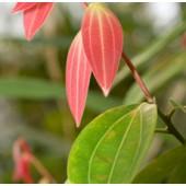 Cinnamon leaves, Organic: 10 ml.