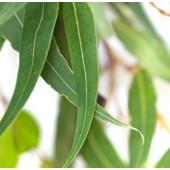 Eucalyptus, globulus, Organic: 10 ml.