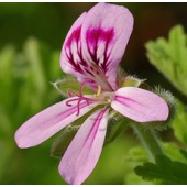 Geranium, Egypt: 5 ml.