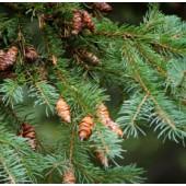 Black Spruce, Organic: 5ml.